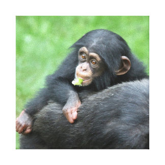 Chimpanzee 005 canvas print