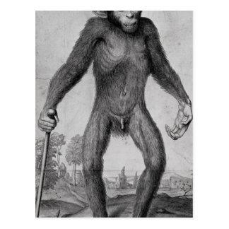 Chimpanzee, 1699 postcard