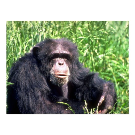Chimpanzee adult sitting in sunny grass postcard