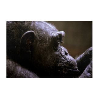 Chimpanzee Head close up Acrylic Print
