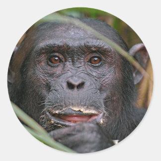 Chimpanzee (Pan Troglodytes) Peeping From Behind Round Sticker