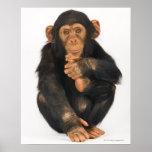 Chimpanzee (Pan troglodytes) Print