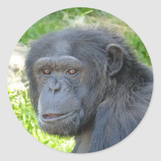 Chimpanzee - Sticker