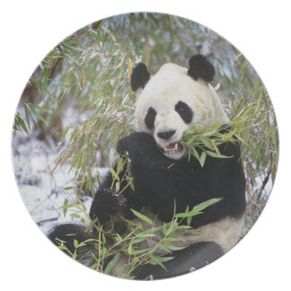 China, Sichuan Province. Giant Panda feeds on Plate