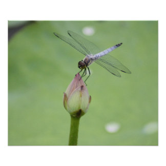 Chinese Blue Dragonfly on Water Lily Bud Poster