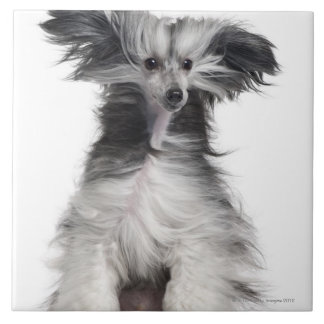 Chinese Crested Dog (15 months old) in the wind Tile