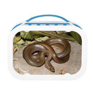 Chinese ratsnake lunch box
