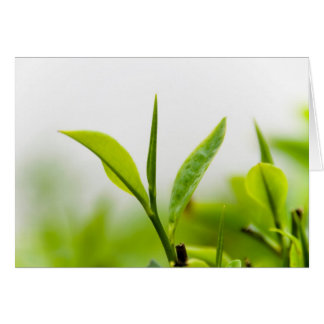 "Chinese Tea Tree, ""Bud and Two Leaves"" (Shoot) Card"