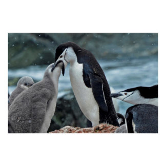 Chinstap Penguin Feeding Chick Poster