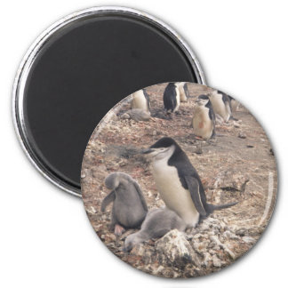 Chinstrap Penguin and Chicks 2 Inch Round Magnet