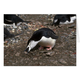 Chinstrap Penguin Picking Up Stone For Nest Offeri Card