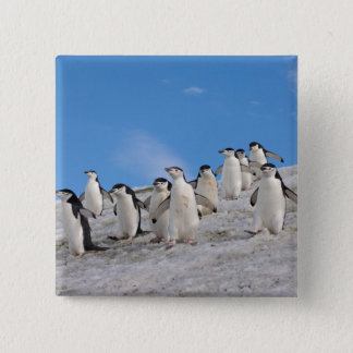 chinstrap penguins, Pygoscelis antarctica, 2 Inch Square Button