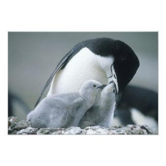 Chinstrap Penguins, Pygoscelis antarctica), Photo Print