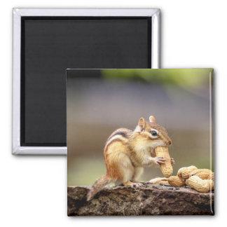 Chipmunk eating a peanut magnet
