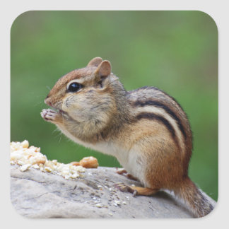 Chipmunk eating nuts square sticker