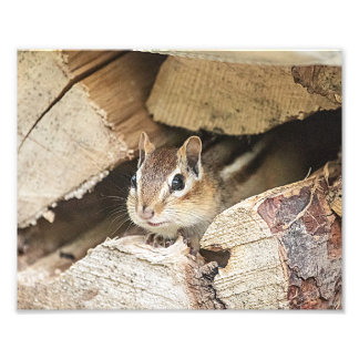 Chipmunk in a wood pile photographic print