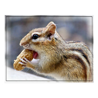 Chipmunk with a peanut postcard