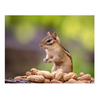 Chipmunk with peanuts postcard
