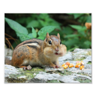 Chipmunk with Stuffed Cheeks Photograph