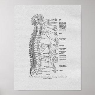 Chiropractic Autonomic Nerves Vintage Print