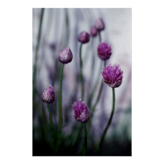 Chives in Bloom Poster
