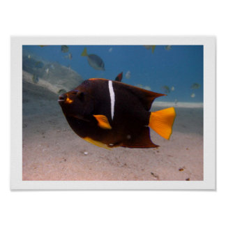 Choco Butterfly Fish - Value Poster Paper Matte