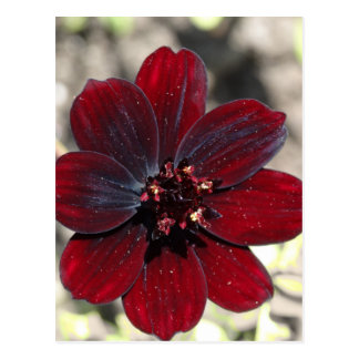 Chocolate Cosmos Flower Postcard