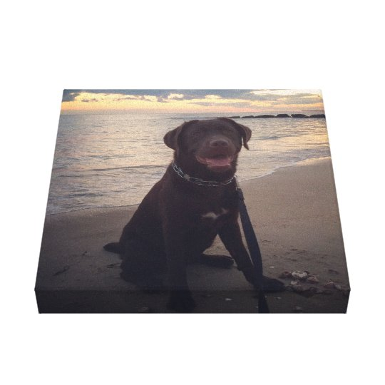 Chocolate lab at the Beach Canvas Print