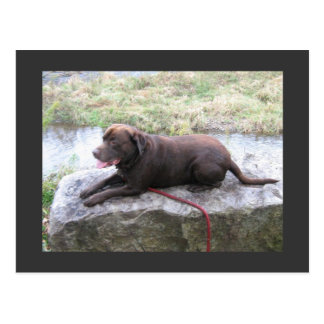 Chocolate Lab Bruno Brown Postcard
