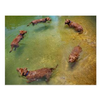 Chocolate Lab Pit Mix Dog Swimming in Circles Postcard