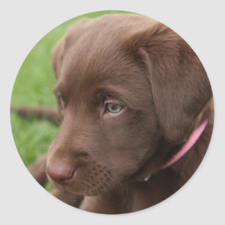 Chocolate Lab Pup Sticker