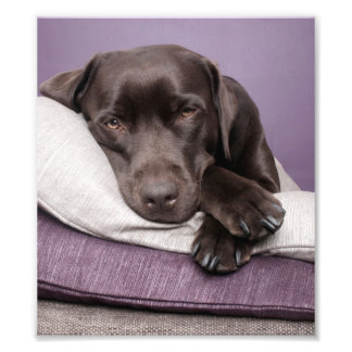 Chocolate labrador retriever dog sleepy on pillows art photo