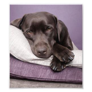 Chocolate labrador retriever dog sleepy on pillows photo print