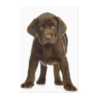Chocolate Labrador Retriever Pup Canvas Print