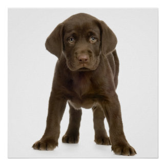 Chocolate Labrador Retriever Pup Poster