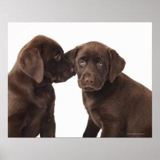 Chocolate Labrador Retriever Puppies Poster
