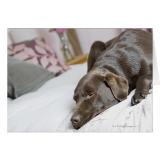 Chocolate labrador sleeping on bed card