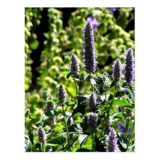 Chocolate Mint in the Summer Garden Postcard