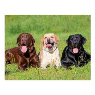 Chocolate, Yellow & Black Labrador Retrievers Postcard