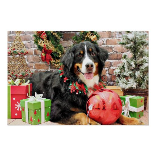 Christmas - Bernese Mountain Dog - Chloe Posters