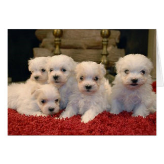 Christmas Maltese Puppies Card