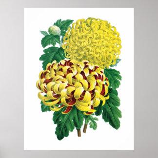 Chrysanthemum botanical print