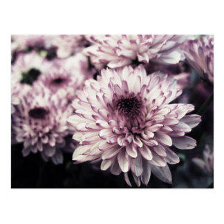 Chrysanthemum I Postcard