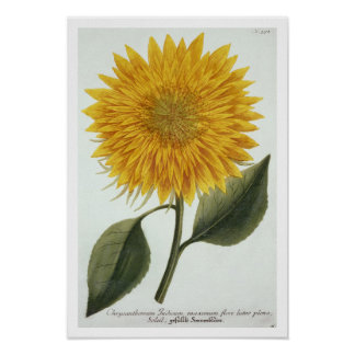 Chrysanthemum Indicum from 'Pythanthoza Iconograph Poster