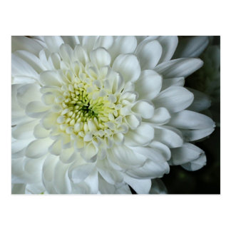 Chrysanthemum Postcard