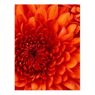 Chrysanthemum. Test Postcard