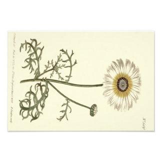 Chrysanthemum Tricolor Yellow Illustration Photograph