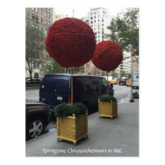 Chrysanthemums downtown New York City Postcard