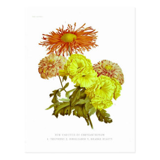 Chrysanthemums Postcard