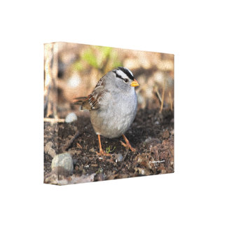 Chubby White-Crowned Sparrow in the Winter Sun Canvas Print